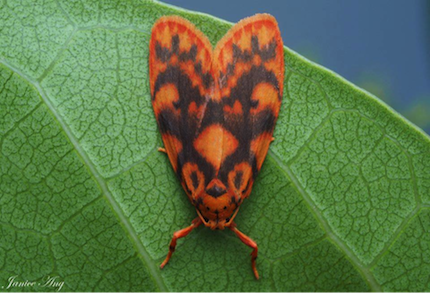 Moth, Barsine porphyrea, photographed by Janice Ang (Dec 2018)