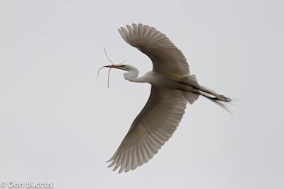 Egret in Flight, photographed by Don Baccus