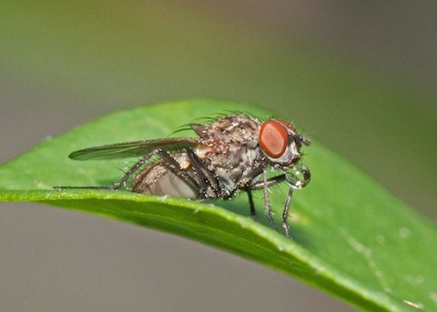 Photograph: Diptera fly blowing a bubble, by Roy Beckemeyer
