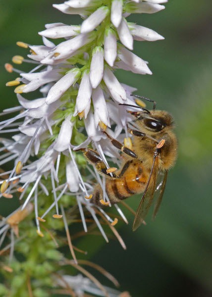 Photograph of honey bee drinking nectar (18 August 2017), by Roy Beckemeyer