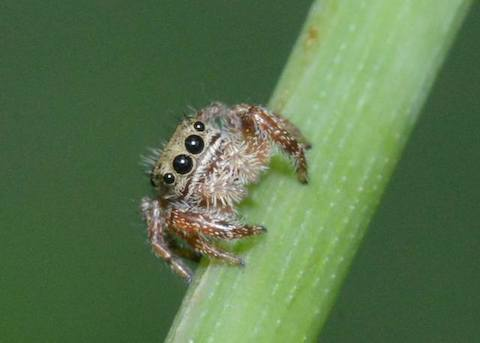 Photograph: Juvenile jumping spider, by Roy Beckemeyer