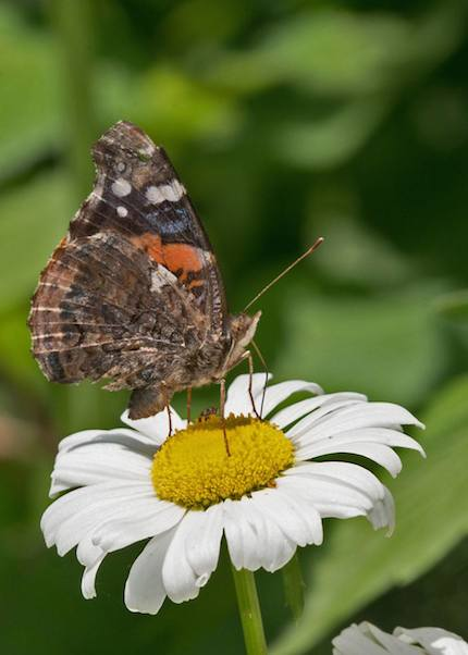 Photograph: Red Admiral on Shasta Daisy, by Roy Beckemeyer
