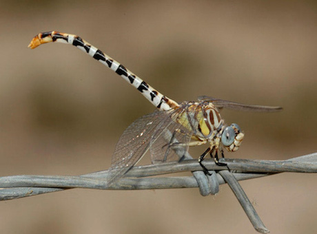 Photograph: White-Belted Ringtail Dragonfly, by Roy Beckemeyer