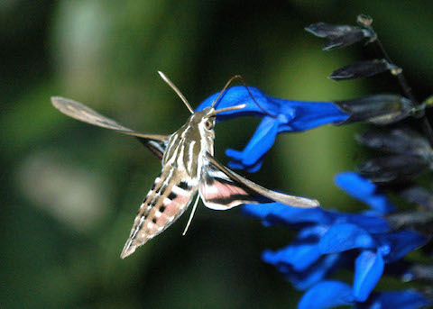 Photograph: Sphinx Moth and Salvia, by Roy Beckemeyer