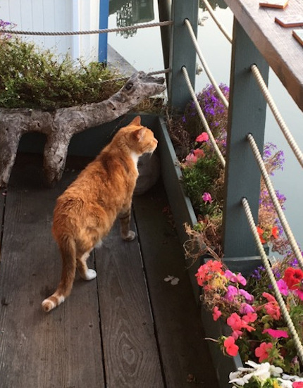 Little Bud patrolling the porch, photograph by Guy Biederman