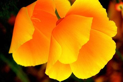California Poppy, photographed by Alexis Rhone Fancher