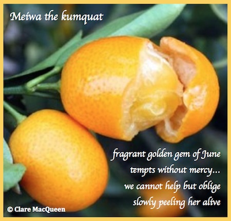 Meiwa the kumquat, taiga by Clare MacQueen