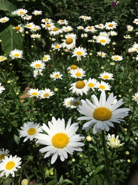 Daisies, photograph by Susan Tekulve