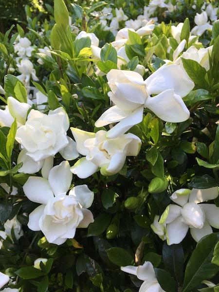 Gardenias, photograph by Susan Tekulve