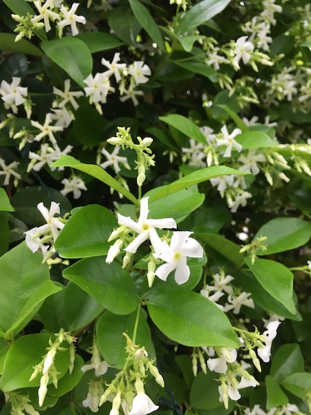 Jasmine blossoms, photograph by Susan Tekulve