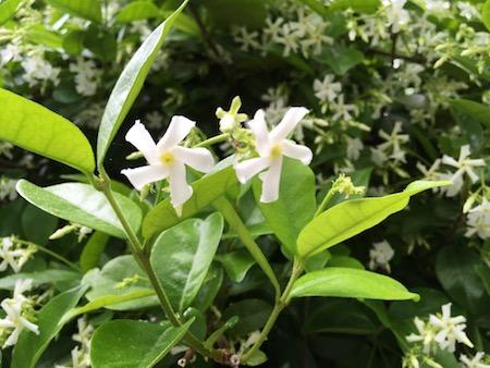Closeup of Jasmine pinwheels, photograph by Susan Tekulve