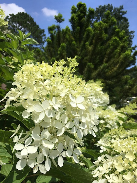 "Panicle Hydrangea ""White Wedding,"" photograph by Susan Tekulve"